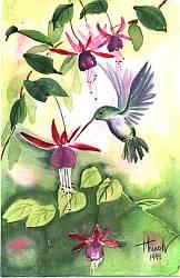 Colibri-acuarela