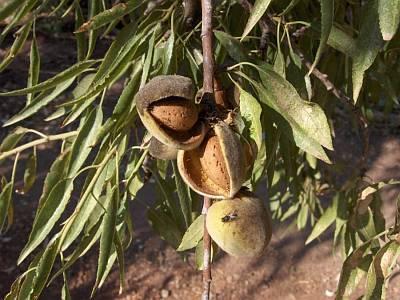 Almendro mediterraneo:frutos