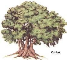 Ombu1