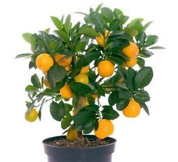 Naranjo enano / Portal de Arboles Frutales